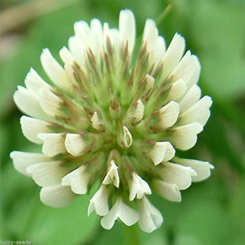 GRAINES DE LA Forte Croissance NE Pas Les Plantes: Seedranch trèfle Blanc hollandais des semences: Nitro-Coated & inoculées - 1/4 LB
