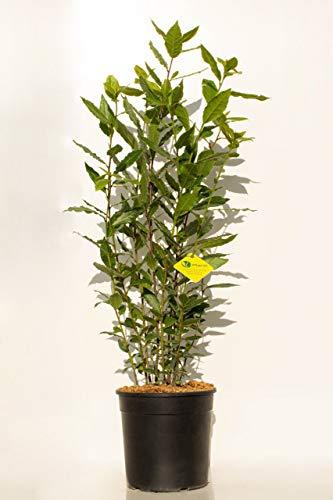 PLANTI' PIANTA VERA DI ALLORO | Laurus Nobilis | Pianta officinale con foglie intere di qualità culinaria. Piante da vaso per esterno e  da giardino . Diametro vaso 17 cm.