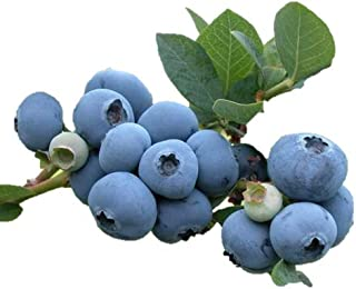 2 Blueray Blueberry Plant-- up to 20 Lbs Per Mature Plant! Nice 4 inch Pot Starter Plants. Currently Dormant (no leaves, still fine to plant for Spring!)