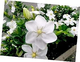 Seeds Gardenia Thunbergia 10 Seeds, Fragrant Wild Gardenia, Shrub Plants or Small Tree