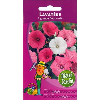 Lavatère à grande fleur varié