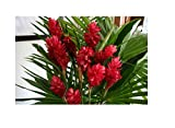 Hawaiian Exotic Flower Plant Roots - Bamboo...