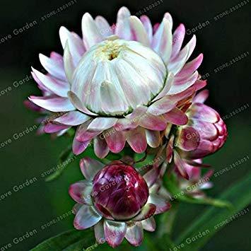 . Helichrysum bracteatum Color Mix Facile Plantes en Croissance Everlasting Daisy Jardin 100 pièces: 6