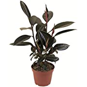 "Shop Succulents | Standing Collection | Hand Selected, Air Purifying Live Ficus Burgundy Rubber Tree Indoor House Plant in 6"" Grow Pot, Single,"