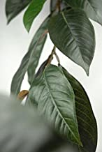 Richland Natural Touch Magnolia Leaf Garland 6' 44 Leaves