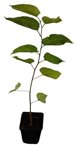 Koreanische Zwergmaulbeere - Mulle - schwarze Maulbeere Pflanze besondere Rarität