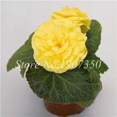 Shopmeeko Graines: 100 Pcs/Mitigé Begonia fleur en pot de bonsaïs d'intérieur Decoratie beau jardin mur usine Décoration pour l'arbre de Noël: 4