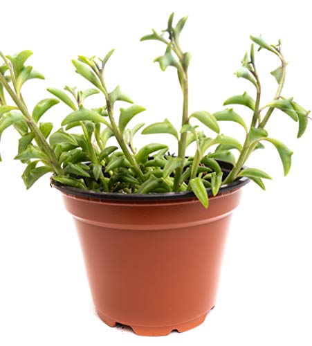 Dolphin Strings 4inch Succulent (1 Count) - Decorate Your Home/Garden with Healthy Dolphin Strings ❘ Fully Rooted Ready to Grow by Jiimz