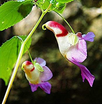 20 stücke China Seltene Papagei Orchidee Blumensamen weltweit Seltene Hochwertigen Bonsai asiatischen samen Garten Hause Samen Semillas Loro Flores