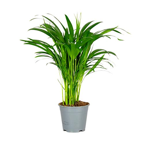 Dypsis   Areca-Palme pro Stück - Zimmerpflanze im Aufzuchttopf cm14 cm - ↕50-60 cm