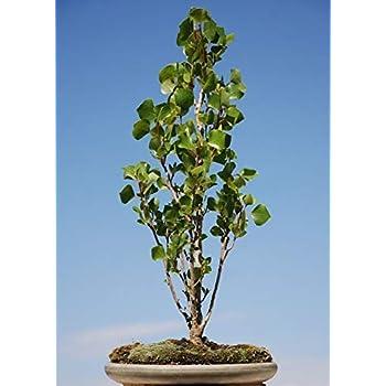 Amazon Com Bonsai Lombardy Poplar Tree Cutting Thick Established Trunk Fast Growing Poplar Bonsai Tree Cottonless Garden Outdoor