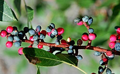 50 frische Terebinthe Baum Samen, Terpentin Pistazie, Pistacia terebinthus, Menengiç kahvesi, Bibel Baum, Ernte Oktober 2020