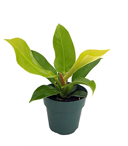 Moonlight Philodendron – Easy to Grow – 4″ Pot