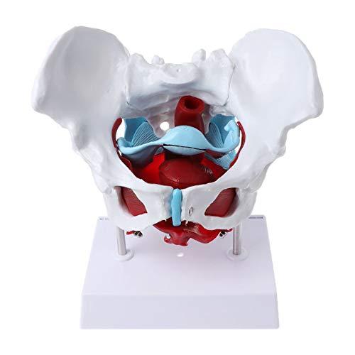 WLKQ Bildungsmodell Lebensgröße Weibliches Beckenmodell - Becken Skelett - Anatomie Modell - Beckenboden Muskel Modell - Anatomisches Strukturmodell