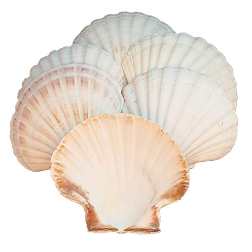 Avalon Scallop Shells - Cleaned and Washed - British White Scallop Shells - Quality Clam Shells for Appetizer Serving Dishes, Parties, Buffets, Crafts, Decorations etc (6, 12-13cm)