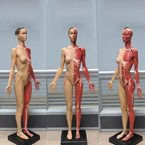 60CM PU Standardmodell der weiblichen Anatomie Muskel Farbe
