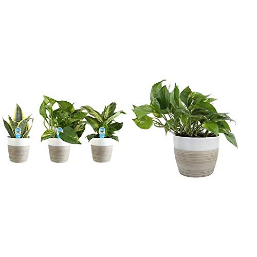 Costa Farms Clean Air 3-Pack O2 for You Live House Plant Collection, White Decor Planter, Green, Yellow & Farms Devil's Ivy Golden Pothos White-Natural Decor Planter Live Indoor Plant, 10-Inches Tall