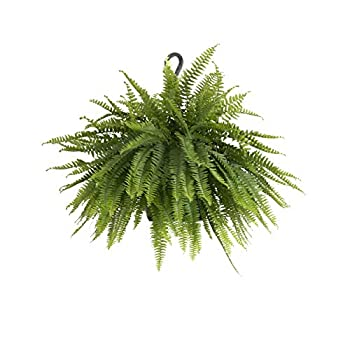 United Nursery Boston Fern Live Indoor Outdoor Plant Hanging Basket 28-30  inches Wide