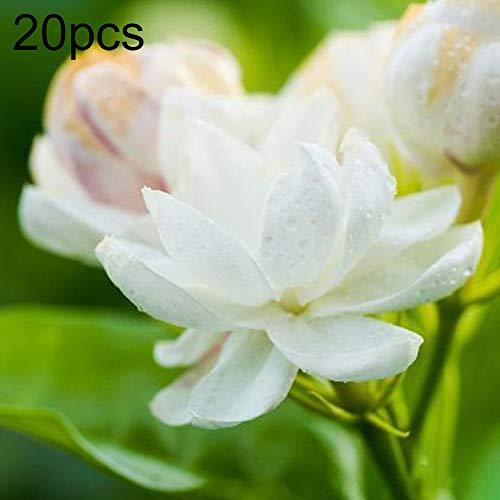 Zhouba arabische Jasmin-Samen für Hof, Gartenpflanze, 30 Stück, weiße, arabische Jasmin-Samen, dekorative Blume, Garten, Balkon, Bonsai-Dekoration