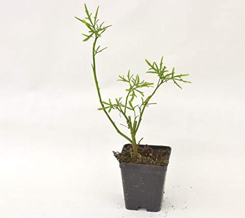 Pianta Alyogine Delighfully, Vaso 7cm, Altezza 10/15cm