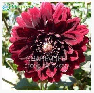 30 / sac dahlia, dahlia fleur Couleurs mixtes Dahlias Semences pour le bricolage jardin livraison gratuite