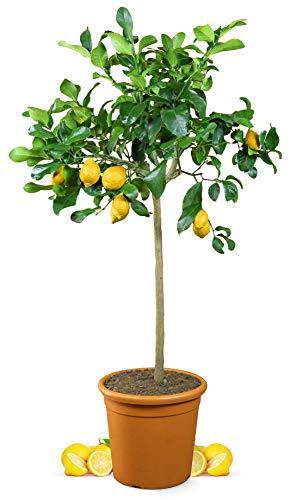 Meine Orangerie Zitronenbaum Grande - echter Citrusbaum - 110 bis 140 cm - veredelte Zitrone im 12 Liter Topf - Citrus Limon - Lemon Tree - Fruchtreife Zitronen Pflanze in Gärtnerqualität