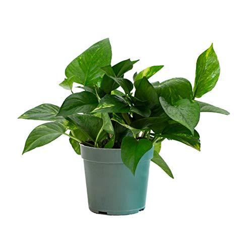 LIVETRENDS/Urban Jungle Pothos Golden in 4-inch Grower Pot, (Live Plant)