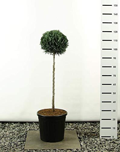 Säulen-Scheinzypresse-Gartenbonsai-Pon Pon-Formschnitt - Chamaecyparis lawsonia Columnaris Kugel auf Stamm - Höhe 100-125cm - Stamm 80 cm - Topf 20 Ltr.