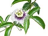 GEOPONICS 1000 Re Douce Passion Fruit SeedsHigh Germination Tarif pour Les semences - Edulis-