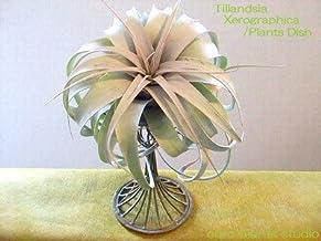 エアープランツチランジア・キセログラフィカ プランツディッシュ(アンティークブラウン) インテリア観葉植物