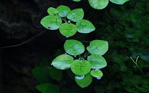 Tropica Aquarium Pflanze Limnobium laevigatum Nr.063 TC in Vitro 1-2 Grow Wasserpflanzen Aquariumpflanzen