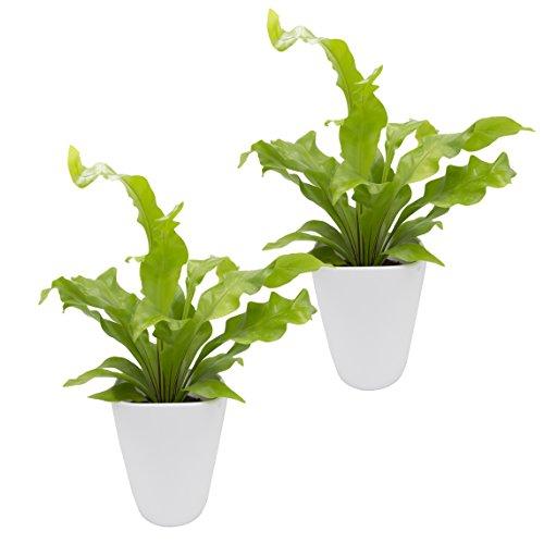 """Dominik Blumen und Pflanzen, Zimmerpflanzen Nestfarn """"Asplenium nidus"""", 2 Pflanzen, circa 15 cm hoch, 13 cm Topf und weißem Dekotopf"""