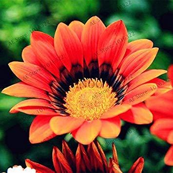 VISTARIC 24: Double Dahlia Seed Mini Mary Fleurs Graines Bonsai Plante en pot bricolage jardin odorant Fleur, croissance naturelle de haute qualité 50 Pcs 24