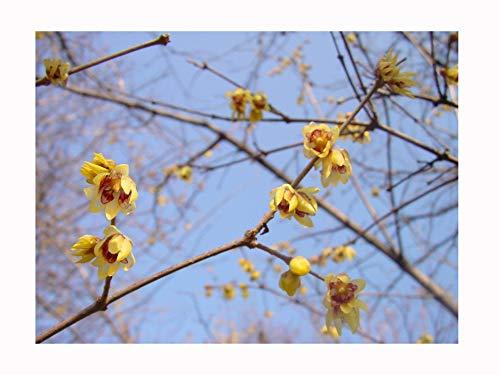 2 x Winter Blühende Garten Strauch Jungpflanzen Chimonanthus haferschmiele Chinesische Wintersweet parfümiertem Winter Blütenstrauch , 15-20cm