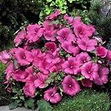 Stiamo vendendo solo semi Semi rose loveliness (lavatera trimestris) 100 + semi Immagine fornita solo per riferimento Spediamo a livello internazionale Il prezzo include i dazi doganali