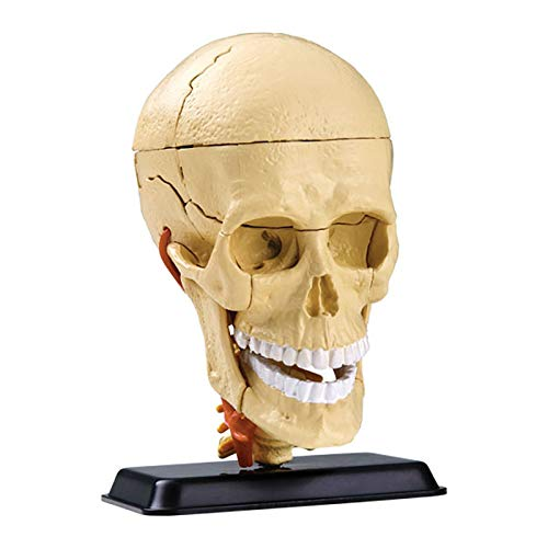 BZZBZZ Human Head Anatomical Model Intracranial Nerve and Skull Medical Assembly Model with Stand (31 Piece) for Study Display School Learning