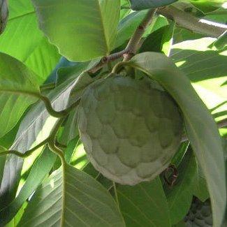 Chirimoyo planta - Altura aprox. 1'20m. - Maceta tubo - Planta viva - (Envíos sólo a Península)