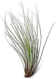 Tillandsia Juncea Planta del Aire o Clavel del Aire Planta Natural de Interior