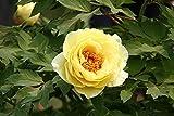 Rizoma De Peonía: Hermoso Color De Flores, Sonrisa De Jade Y Fragancia De Perlas, Romántico Y Desenfrenado, Magnífico-1-rizoma,Amarillo-Peony