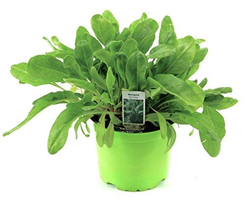 Mangold Pflanze, Marktfrische Pflanze aus Nachhaltigem Anbau Gärtnerqualität!