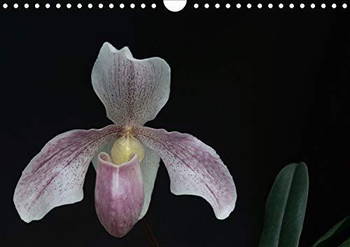 Frauenschuhe - die schönsten Orchideen der Welt (Wandkalender 2021 DIN A4 quer)