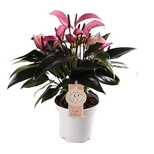 Flamingoblume, (Anthurium), pflegeleichte Zimmerpflanze, im 12cm Topf, (Lila, Sorte: Zizou)