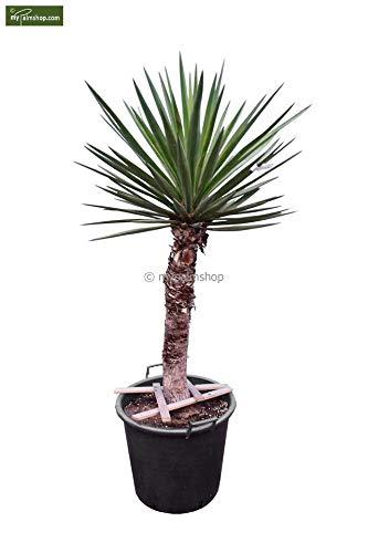 Bajonett Yucca Palmlilie - Yucca treculeana - Stamm 80-90cm Topf Ø 55cm Speditionsversand