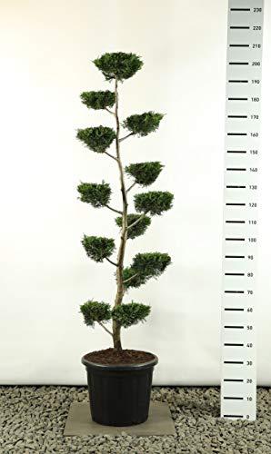 Zypresse Formschnitt Formgehölz Bonsai PonPon - Cupressocyparis leylandii multiplateau flach - Gesamthöhe 170-200 cm - 45 Liter Topf - Spedition