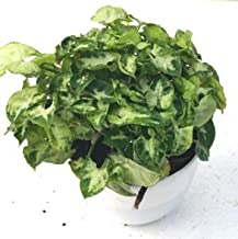 CAPPL Bushy Syngonium No .9 Green Color Plant (Pot Included) with Fertilizer & Plate Free