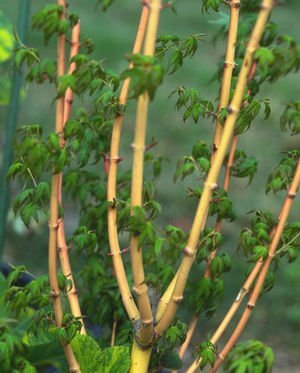 Bihou Japanese Maple. Stunning amber and apricot colored bark 2 - Year Live Plant