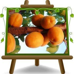 bricotier arbre de abricots Sungiant plante fruitière greffe de myrobalan sur un pot de 26 max 200 cm - 4 ans