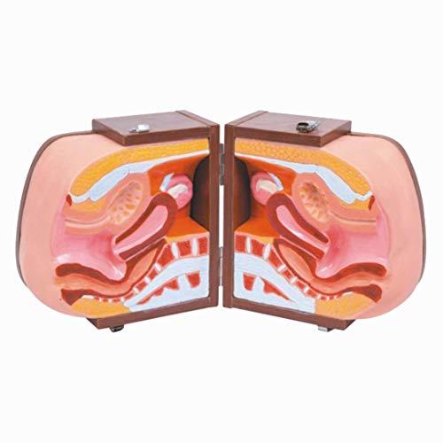 FXQ Modello di Utero - Modello di addestramento di Orientamento contraccettivo Femminile Dispositivo-Assistente Medico Modello di Utero -per Aiuto alla Formazione in ginecologia Medica