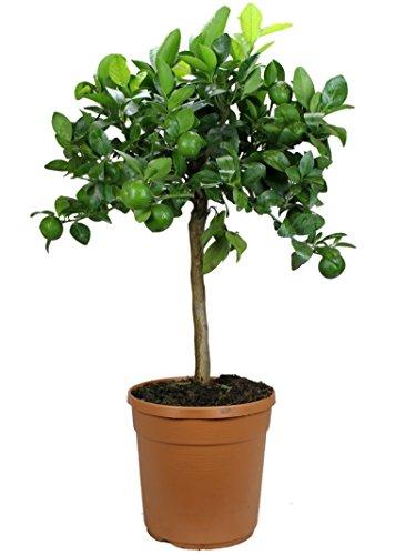 Meine Orangerie Satsuma Mandarine Mezzo - echter Citrusbaum - 70 bis 100 cm - veredelter Zitronenbaum im 8 Liter Topf - Citrus Unshiu - Fruchtreife Mandarinen Pflanze in Gärtnerqualität