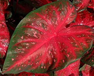 (20) Red Flash Caladium, Bulbs, Great for Any Garden, Great as a Houseplant